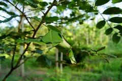 在树分支的蚂蚁巢  免版税库存图片