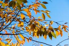 在树分支的黄色叶子在天空蔚蓝的 秋天地方教育局 免版税库存照片