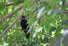 在树分支的黑乌鸦栖息处与绿色的离开背景 图库摄影