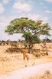 在树前面的长颈鹿身分在草平原 免版税库存图片