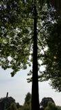 在树剪影的啄木鸟 免版税库存照片
