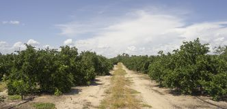 在树南方农业果树园的成熟石灰 图库摄影