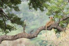 在树南非的狮子 免版税库存图片