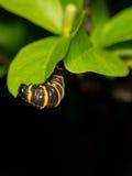 在树叶子的一条毛虫 免版税库存照片