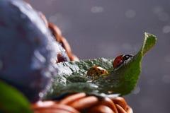 在树叶子的两只瓢虫  库存图片