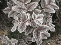 在树叶子的树冰 免版税库存照片
