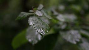 在树叶子的雨下落  股票录像