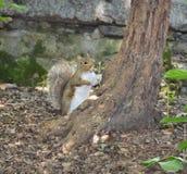 在树后的灰鼠 免版税库存图片
