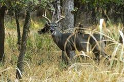 在树后的鹿 免版税库存图片