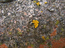 在树吠声特写镜头的黄色地衣植被 库存照片