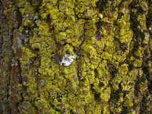 在树吠声特写镜头的黄色地衣 免版税库存图片