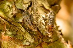 在树吠声的Cicadidaes  免版税库存照片