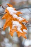 在树和橡木黄色叶子的第一雪  从秋天改变季节到冬天 库存照片