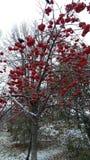 在树和第一雪的红色荚莲属的植物 免版税库存照片