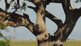 在树哺养的豹子崽 股票录像