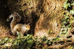 在树基地的灰色灰鼠  免版税库存照片