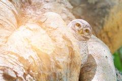 在树孔,野生动物的小猫头鹰 免版税库存照片