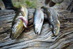 在树干显示的三条鳟鱼 免版税库存图片