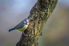 在树干栖息的蓝冠山雀 免版税库存照片