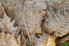 在树干照片的干燥黄色叶子 旱季或失水概念 与静脉的干燥叶子结构 图库摄影