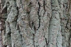 在树干燥吠声的青灰色地衣  免版税库存图片
