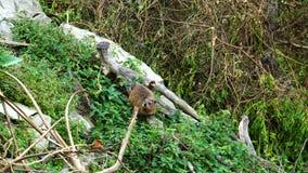 在树干的一只岩石非洲蹄兔 免版税库存照片