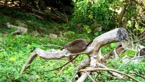 在树干的一只岩石非洲蹄兔 图库摄影