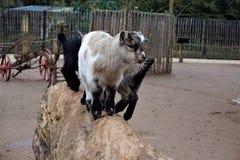 在树干的三只小的小山羊 库存图片