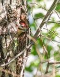 在树干的凹陷的啄木鸟刚孵出的雏 免版税库存照片