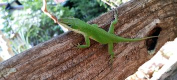 在树干的卡罗来纳州Anole绿色Lizaard 免版税库存图片