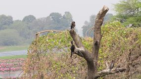 在树干的唯一黑鸬鹚鸟 库存照片