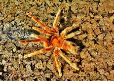 在树干的塔兰图拉毒蛛蜘蛛 库存图片