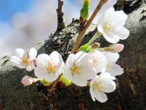 在树干的多伦多高公园樱花花2018年 免版税图库摄影
