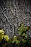 在树干的常春藤叶子 免版税库存图片