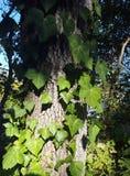 在树干的常春藤 免版税库存照片