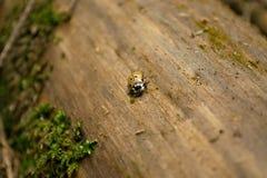 在树干的异常的瓢虫 库存照片