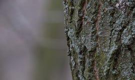 在树干的树皮由地衣盖 橡子秋天背景边界设计森林橡木阳光 库存图片