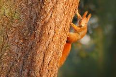 在树干的橙色灰鼠 在冬天场面的逗人喜爱的红松鼠与在树干的雪 从自然的野生生物场面 冷 免版税库存图片