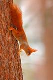 在树干的橙色灰鼠 在冬天场面的逗人喜爱的红松鼠与在树干的雪 从自然的野生生物场面 冷 免版税图库摄影