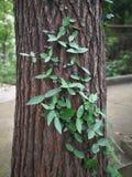 在树干的波士顿常春藤 免版税库存图片