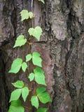 在树干的波士顿常春藤 免版税库存照片