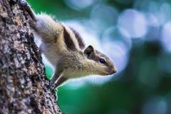在树干的灰鼠在它的自然生态环境 库存照片