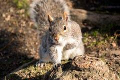 在树干的灰鼠 免版税库存照片