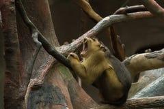 在树干的疲乏的猴子 库存照片