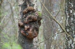 在树干的瘤 免版税库存图片