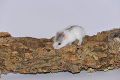 在树干的白色西伯利亚仓鼠 图库摄影