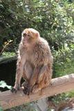 在树干的短尾猿猴子 库存照片