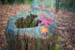 在树干的红色叶子 免版税库存照片