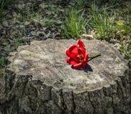在树干的红色郁金香花 免版税图库摄影