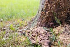 在树干的老被破坏的蚂蚁堆在绿草背景 图库摄影